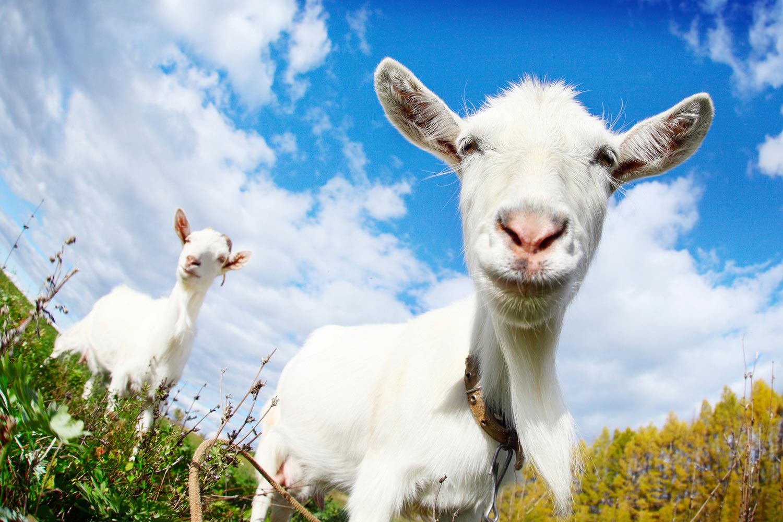 Kozie mlieko bude vaše vlasy vyživovať zvnútra. Budete mať nielen krajšie vlasy, ale aj nechty a pleť.